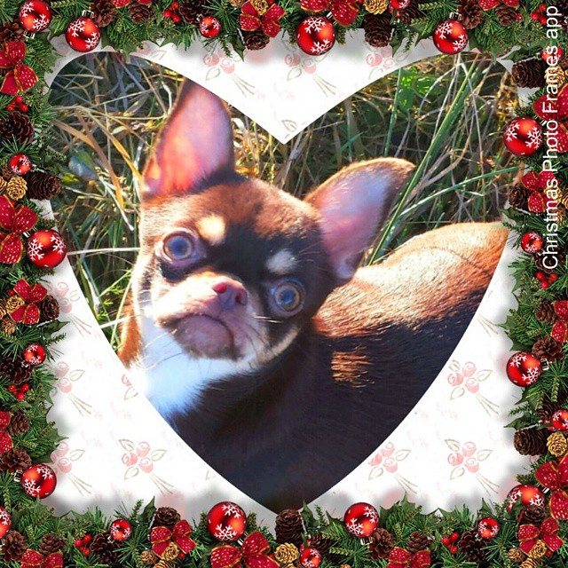 A photo of a funny little dog with Christmas holiday frame