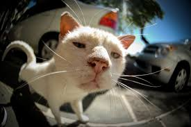 A funny shot of a white cat taken with a fisheye lens