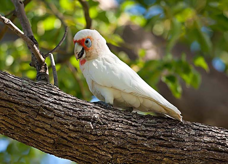 A photo of a white parrot, sitting on a tree, taken with a telephoto lens