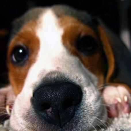 Beagle lying