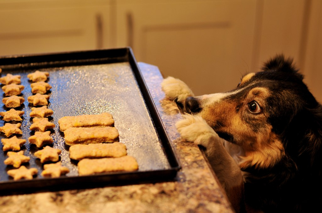 A dog who wants cookies