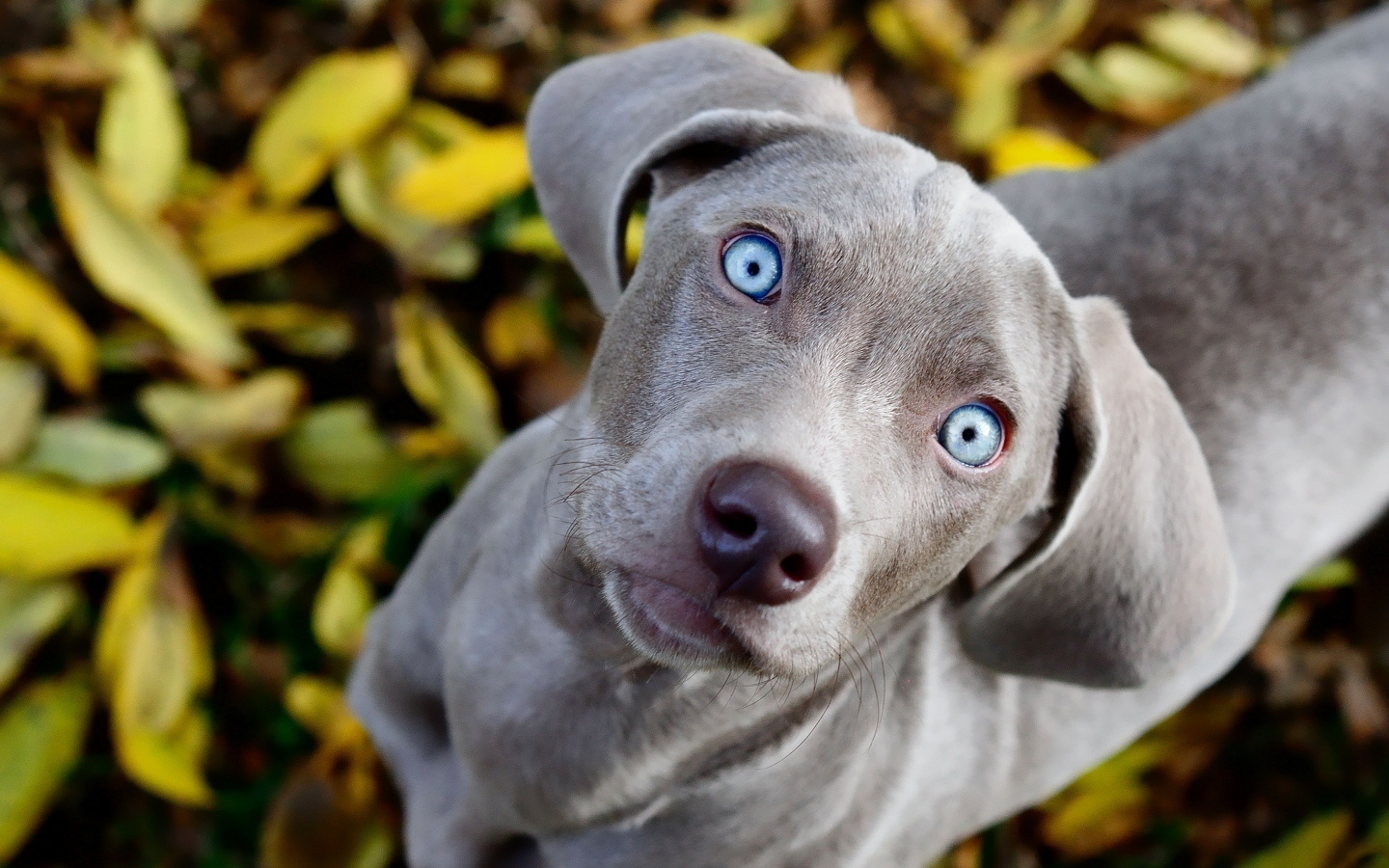 Dog with blue eyes look at you