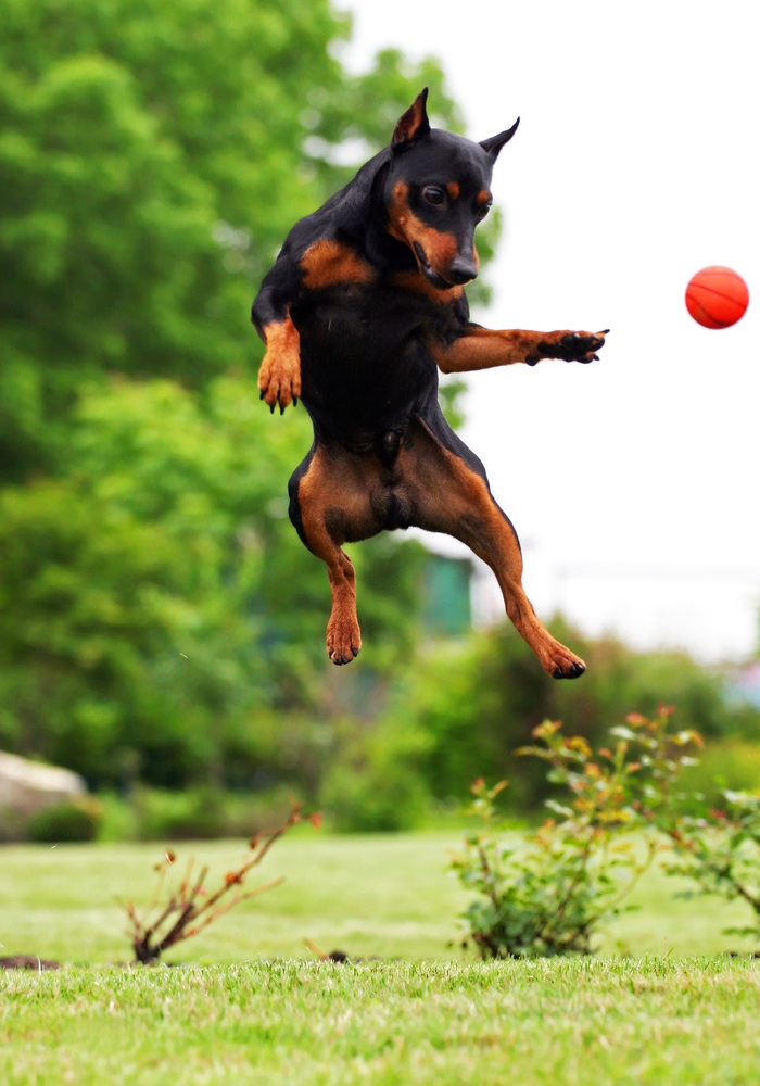 A dog catching a ball