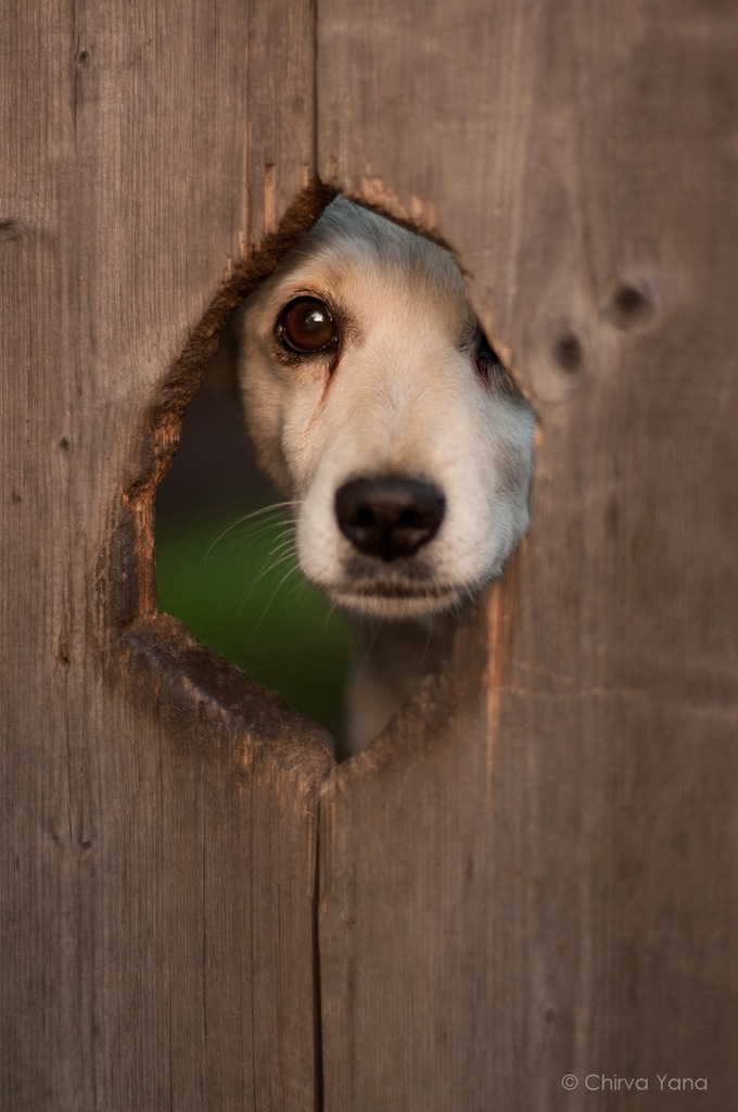 A dog looking through a fence hole