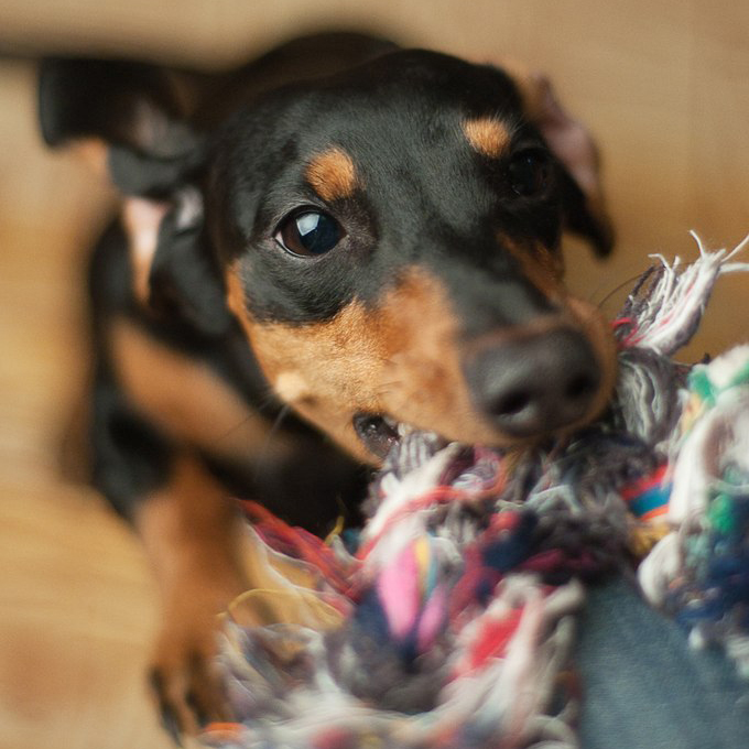 A dachshund  playing with a toy