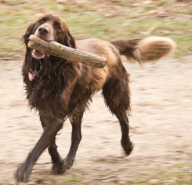 A big dog running with a stick